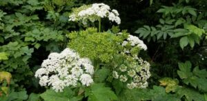 Cow Parsnip is large native plants that grows along the Oregon coast