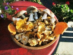 Medley of wild edible mushrooms