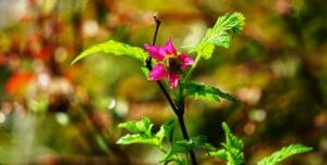 Salmonberry bloom early spring Oregon coast