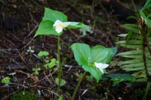 Early spring blooms of Trillium along the forest trails of the Oregon Coast