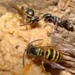 Wasps, Hornets, and Yellow Jackets - Oh My!
