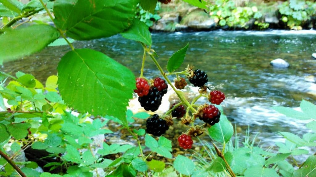 Summertime berries. Blackberry's ripening on a blackberry plant.