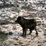 Support Intelligent Wolf Conservation!