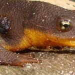 Rough-Skinned Newt eating an earthworm