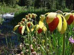 darlingtonia-californica-flowers-blooming along a creek in late spring