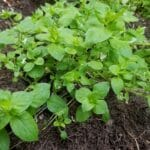 Chickweed Power. A wild edible plant packed with vitamins and minerals.