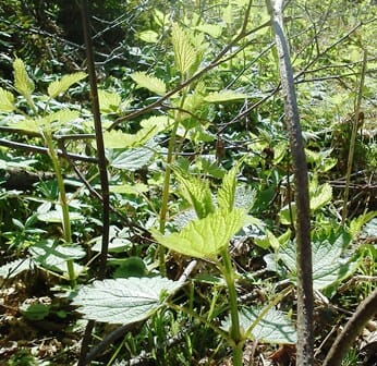 Stinging Nettle a wild edible plant photo. Benefits of Wild Edibles