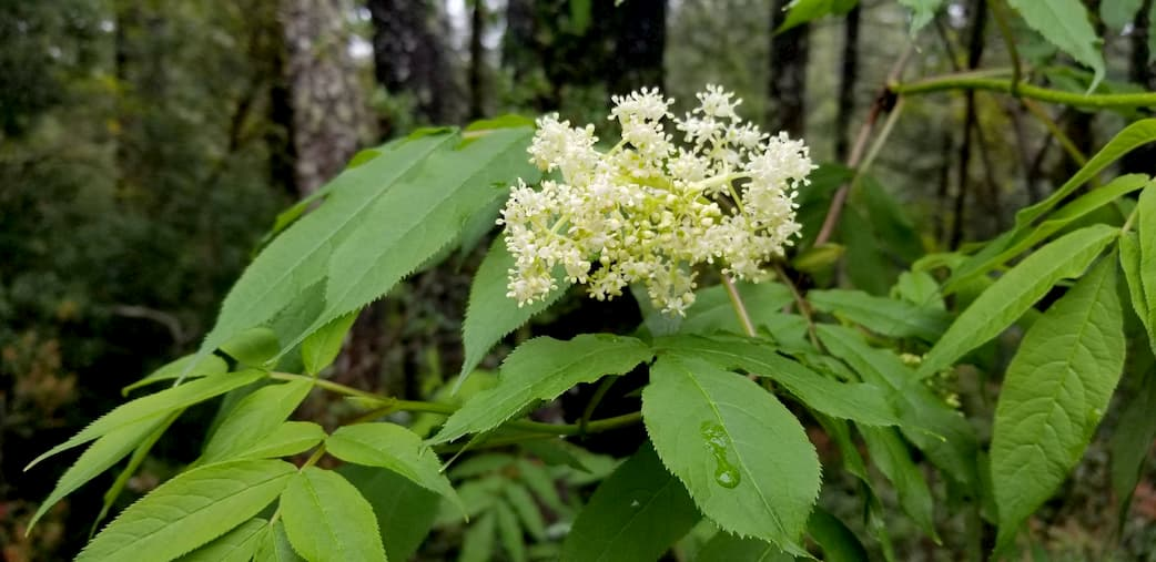 Benefits of wild edibles. Red elderberry flowers.