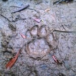 Mountain Lion track in mud