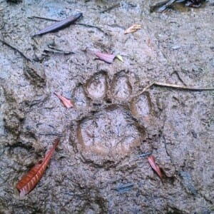 Mountain Lion Facts for Search and Rescue