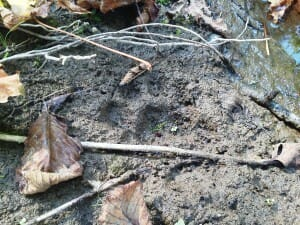 Mountain lion track in soft mud in Oregon