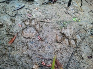 Cougar tracks coming and going in mud. Oregon.