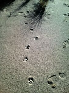 cougar and human tracks in sand