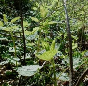 Photo of Stinging Nettle Edible and Useful Wild Coastal Plant - Oregon