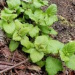 Lemon Balm Melissa officinalis. A calming herb drunk as a tea.